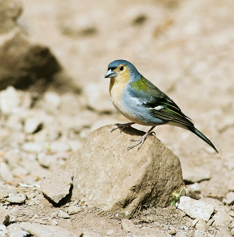 Finch (Family: Fringillidae) - Wiki; Image ONLY