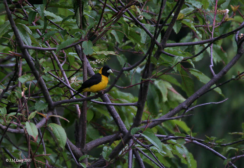 Black-and-yellow Grosbeak (Mycerobas icterioides) - Wiki; Image ONLY