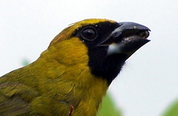 Black-faced Grosbeak (Caryothraustes poliogaster) - Wiki; Image ONLY