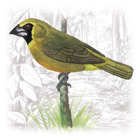 Yellow-green Grosbeak (Caryothraustes canadensis) - Wiki; Image ONLY