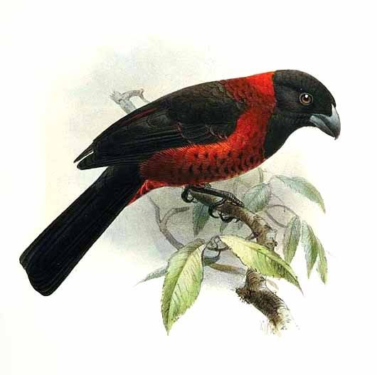 Crimson-collared Grosbeak (Rhodothraupis celaeno) - Wiki; Image ONLY