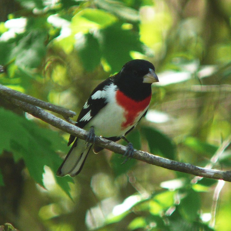 Rose-breasted Grosbeak (Pheucticus ludovicianus) - Wiki; DISPLAY FULL IMAGE.