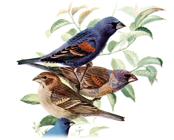 Blue Grosbeak (Passerina caerulea) - Wiki; Image ONLY