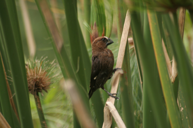 Grosbeak Weaver (Amblyospiza albifrons) - Wiki; DISPLAY FULL IMAGE.