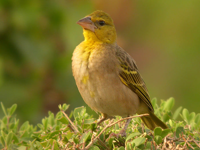 Village Weaver (Ploceus cucullatus) - Wiki; Image ONLY