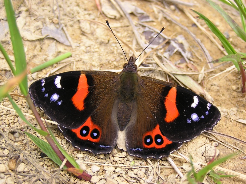 New Zealand Red Admiral (Vanessa gonerilla) - Wiki; DISPLAY FULL IMAGE.
