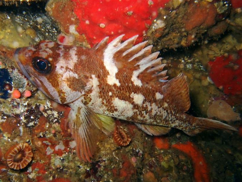 Copper Rockfish (sebastes caurinus) - Wiki; DISPLAY FULL IMAGE.