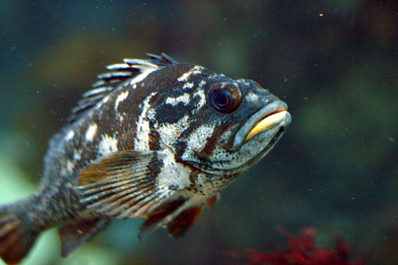 Gopher Rockfish (Sebastes carnatus) - Wiki; DISPLAY FULL IMAGE.