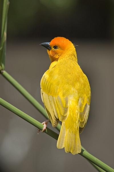 Golden Palm Weaver (Ploceus bojeri) - Wiki; Image ONLY