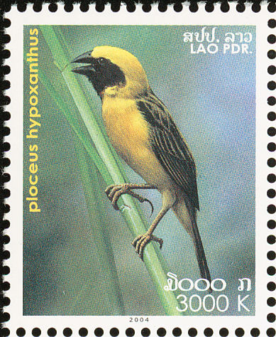 Asian Golden Weaver (Ploceus hypoxanthus) - Wiki; Image ONLY