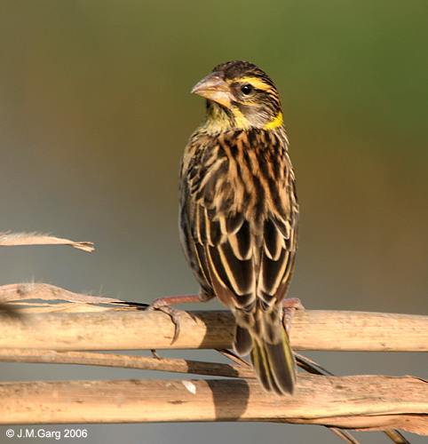 Black-throated Weaver (Ploceus benghalensis) - Wiki; Image ONLY
