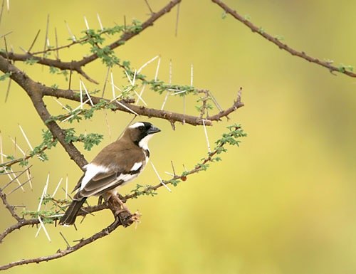 White-browed Sparrow-weaver (Plocepasser mahali) - Wiki; Image ONLY