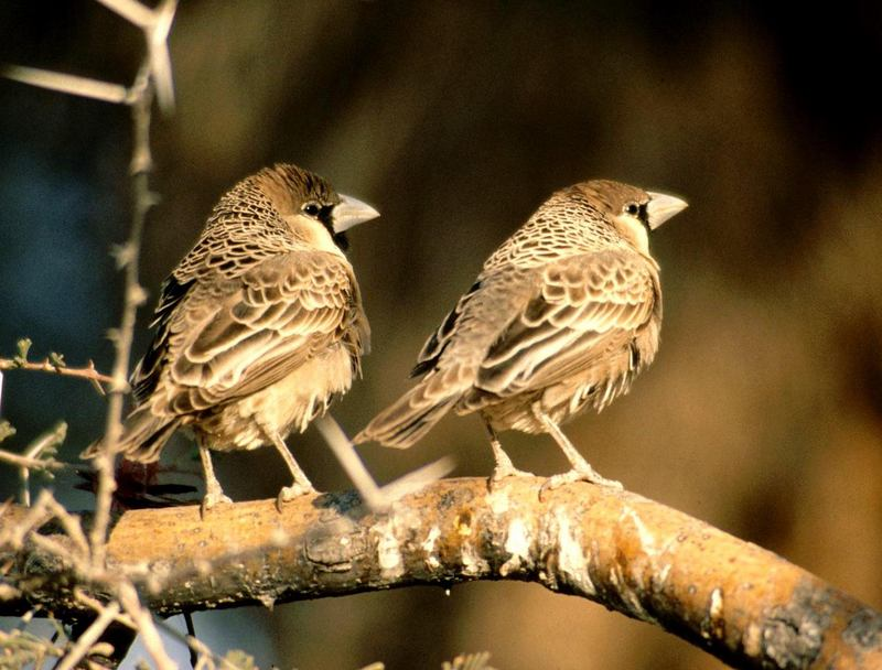 Social or Sociable Weaver (Philetairus socius) - Wiki; DISPLAY FULL IMAGE.