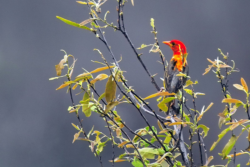 Red-headed Weaver (Anaplectes rubriceps) - Wiki; DISPLAY FULL IMAGE.