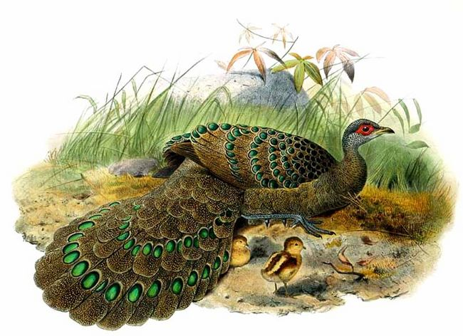Germain's Peacock-pheasant (Polyplectron germaini) - Wiki; Image ONLY