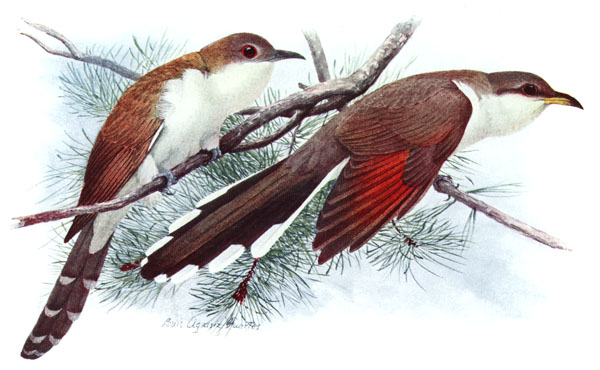 Yellow-billed Cuckoo (Coccyzus americanus) - Wiki; Image ONLY