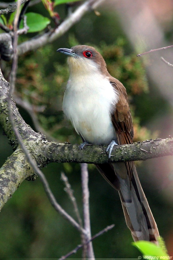 Black-billed Cuckoo (Coccyzus erythropthalmus) - Wiki; Image ONLY