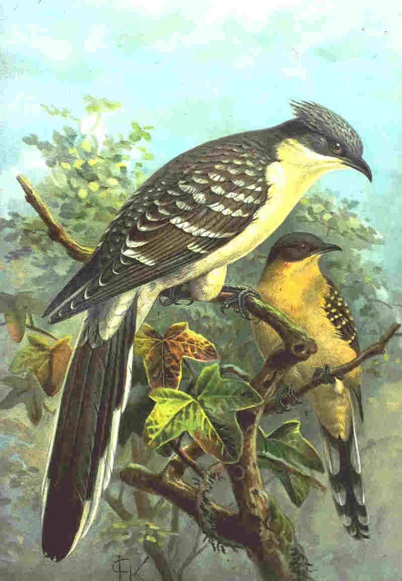 Great Spotted Cuckoo (Clamator glandarius) - Wiki; DISPLAY FULL IMAGE.