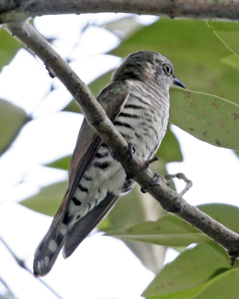 Little Bronze-Cuckoo (Chrysococcyx minutillus) - Wiki; DISPLAY FULL IMAGE.