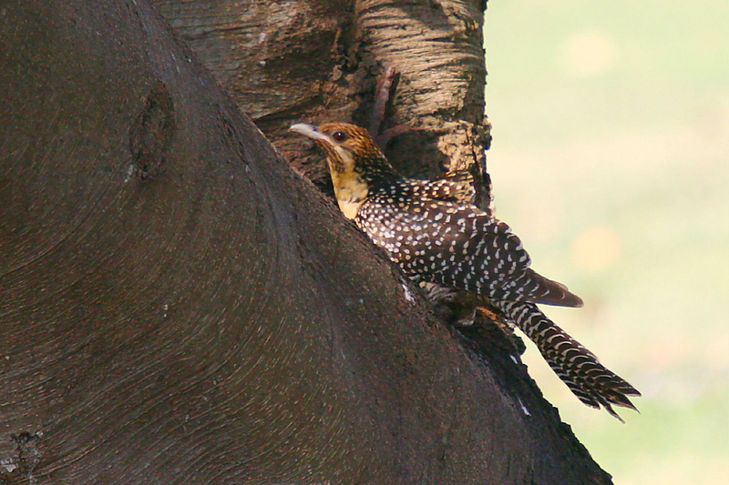 Australian Koel, Eudynamys cyanocephalus - immature; DISPLAY FULL IMAGE.