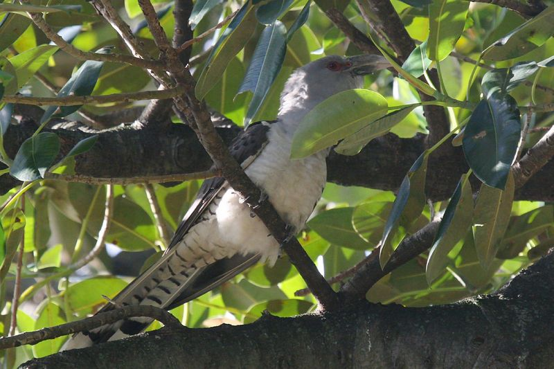 Channel-billed Cuckoo (Scythrops novaehollandiae) - Wiki; DISPLAY FULL IMAGE.