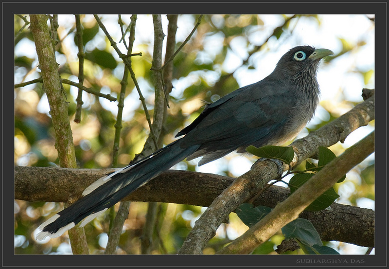 Blue-faced Malkoha (Phaenicophaeus viridirostris) - Wiki; DISPLAY FULL IMAGE.