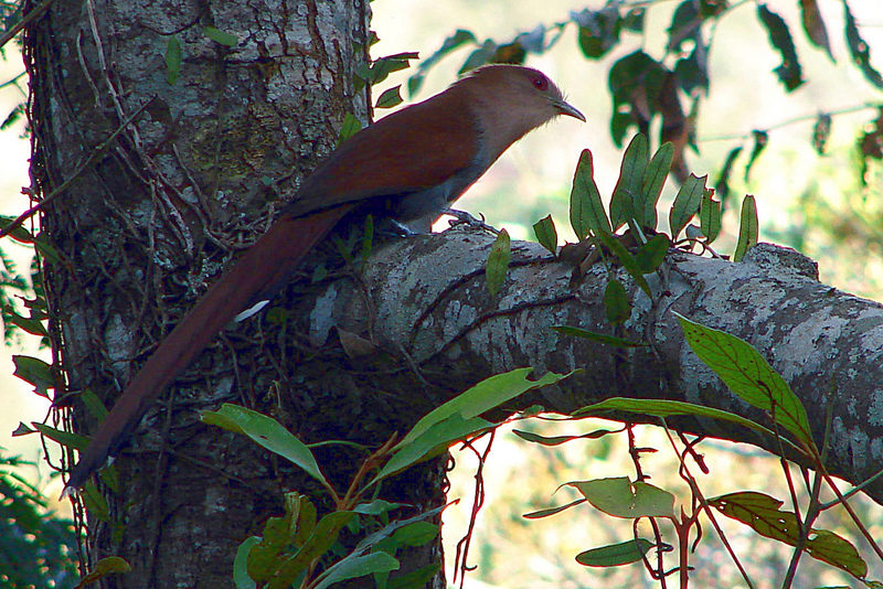 Squirrel Cuckoo (Piaya cayana) - Wiki; DISPLAY FULL IMAGE.