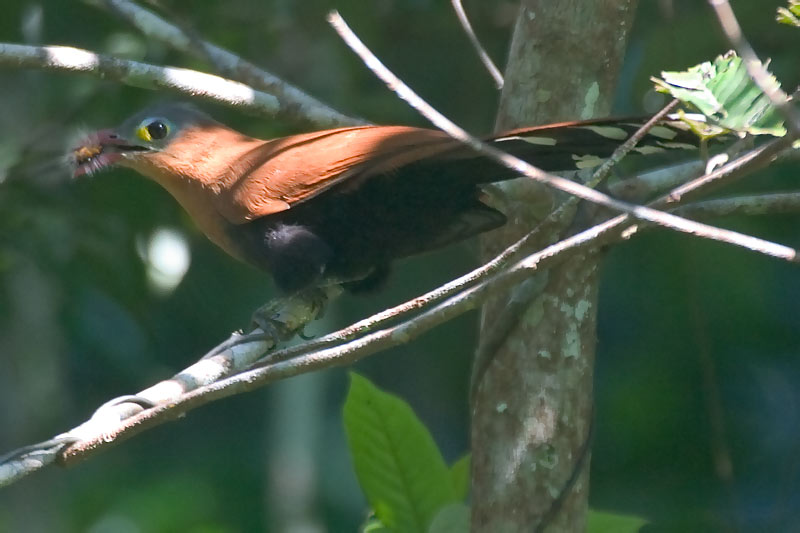 Black-bellied Cuckoo (Piaya melanogaster) - Wiki; Image ONLY