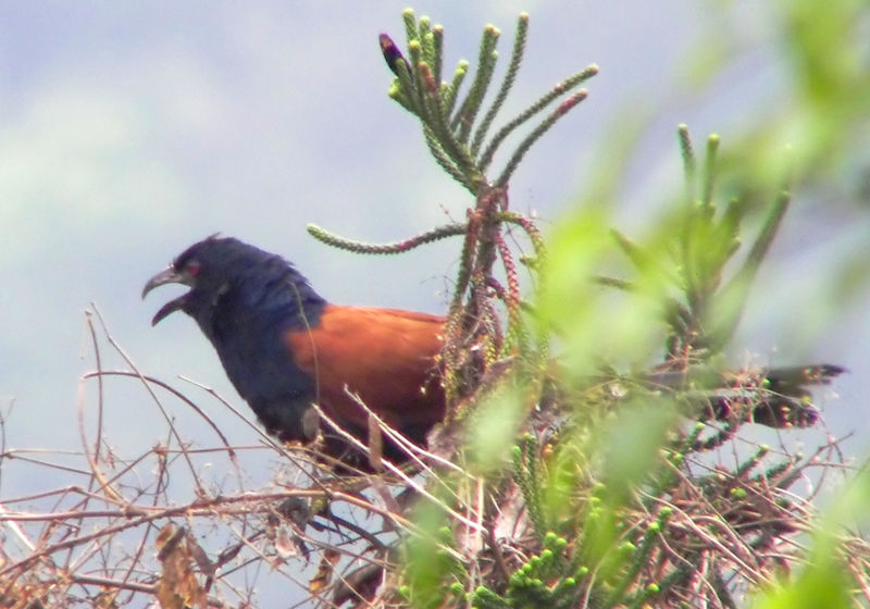 Lesser Coucal (Centropus bengalensis) - Wiki; DISPLAY FULL IMAGE.