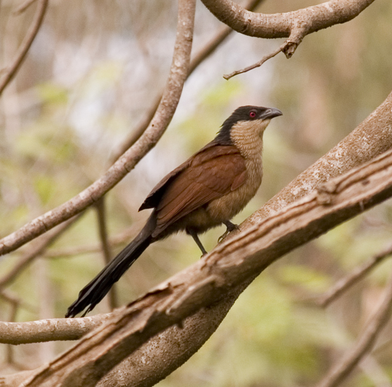 Coucal (Genus: Centropus, a kind of cuckoos) - Wiki; DISPLAY FULL IMAGE.
