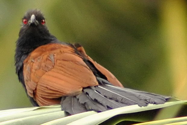 Greater Coucal (Centropus sinensis) - Wiki; Image ONLY
