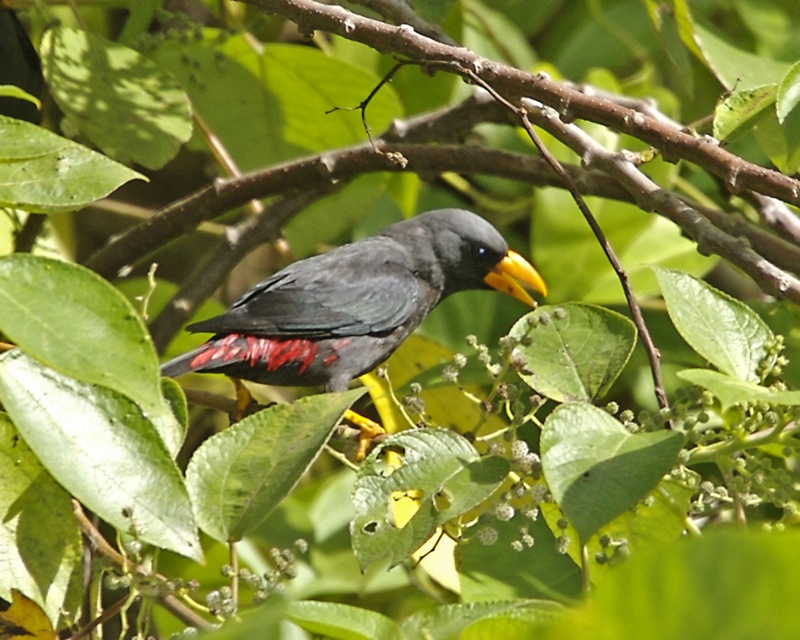 Finch-billed Myna (Scissirostrum dubium) - Wiki; DISPLAY FULL IMAGE.