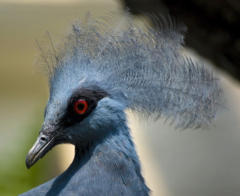 Western Crowned Pigeon (Goura cristata) - Wiki; DISPLAY FULL IMAGE.