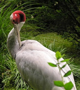 Cranes (Family: Gruidae) - Wiki; Image ONLY