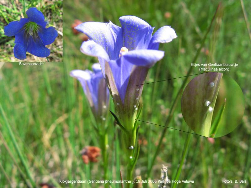 Klokjesgentiaan met afgezette eitjes van gentiaanblauwtje-Alcon Large Blue Butterfly (Maculinea alcon) eggs.jpg