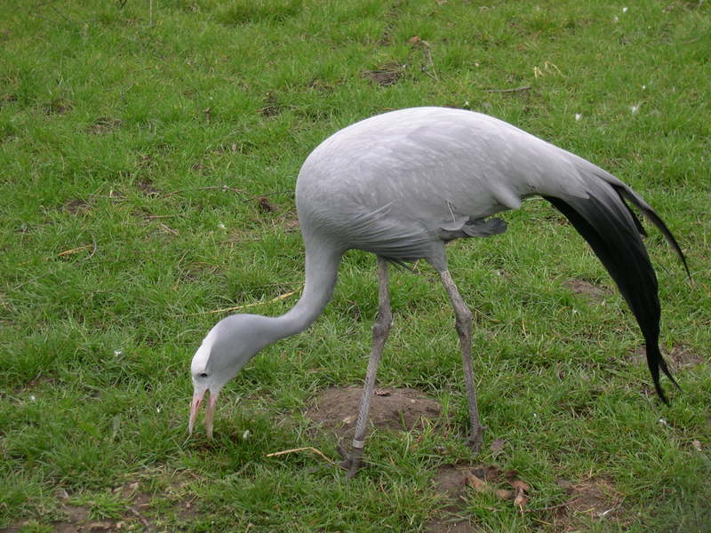 Blue Crane (Anthropoides paradisea) - Wiki; DISPLAY FULL IMAGE.