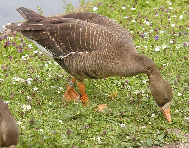 Greater White-fronted Goose (Anser albifrons) - Wiki; Image ONLY