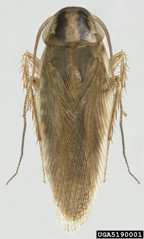 Asian Cockroach (Blattella asahinai) - Wiki; Image ONLY