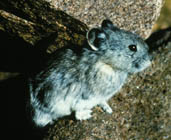 Collared Pika (Ochotona collaris) - Wiki; Image ONLY