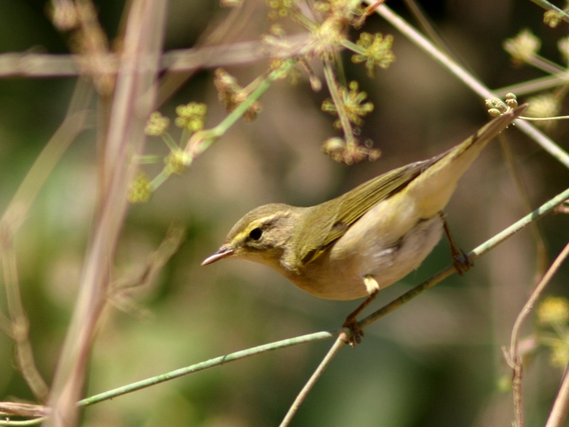 Willow Warbler (Phylloscopus trochilus) - Wiki; DISPLAY FULL IMAGE.