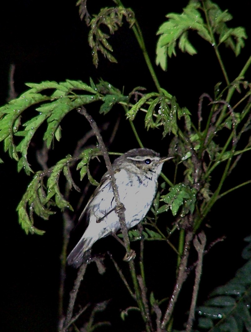 Sakhalin Leaf-warbler (Phylloscopus borealoides) - Wiki; DISPLAY FULL IMAGE.