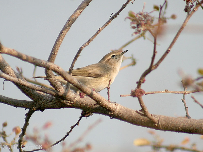 Common Chiffchaff (Phylloscopus collybita) - Wiki; Image ONLY