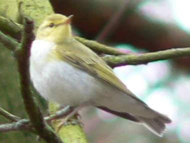 Wood Warbler (Phylloscopus sibilatrix) - Wiki; Image ONLY