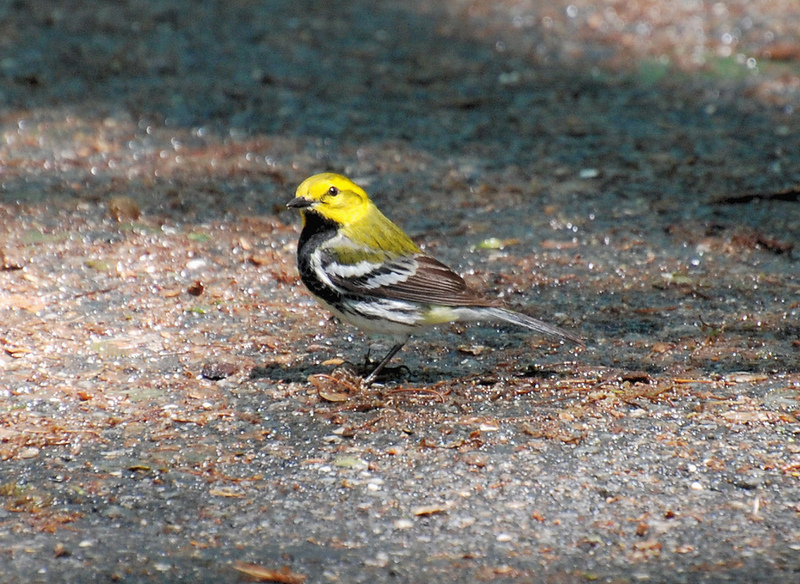 Black-throated Green Warbler, Dendroica virens; DISPLAY FULL IMAGE.
