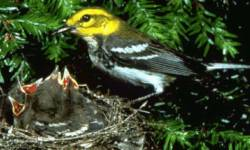 Black-throated Green Warbler (Dendroica virens) - Wiki; Image ONLY