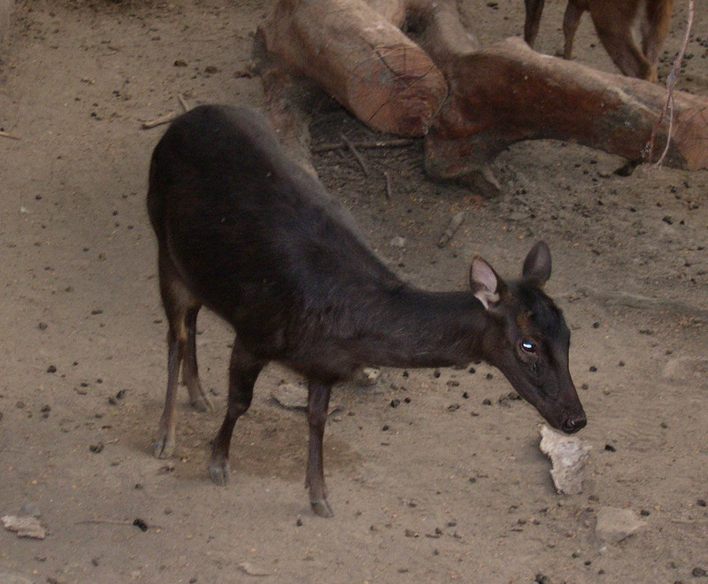 Philippine Sambar (Cervus mariannus) - Wiki; DISPLAY FULL IMAGE.