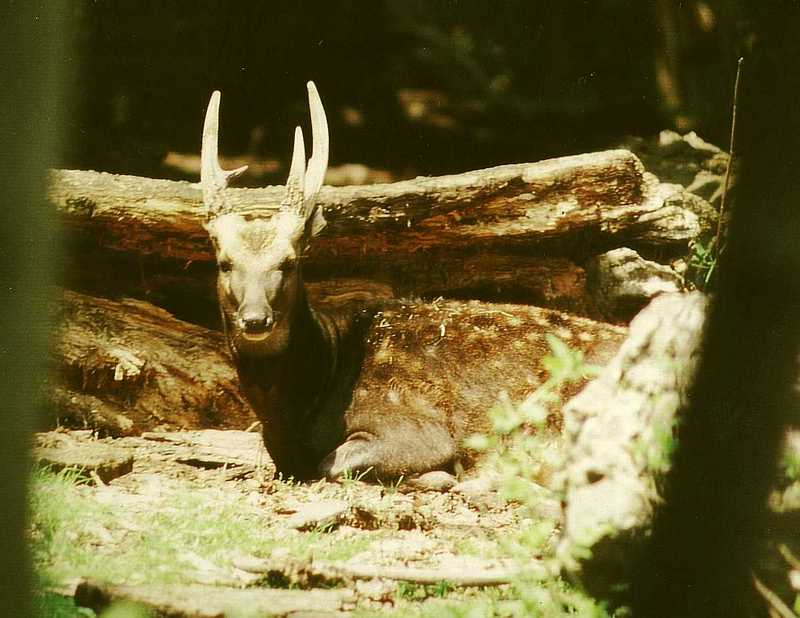 Philippine Spotted Deer (Cervus alfredi) - Wiki; DISPLAY FULL IMAGE.