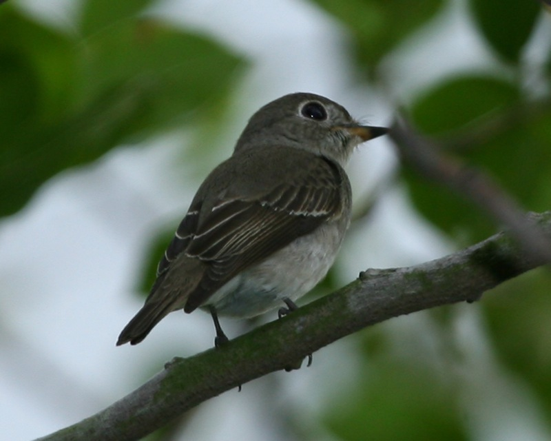 Asian Brown Flycatcher (Muscicapa dauurica); Image ONLY