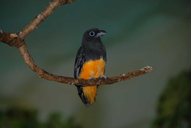 White-tailed Trogon (Trogon viridis) without tail; DISPLAY FULL IMAGE.