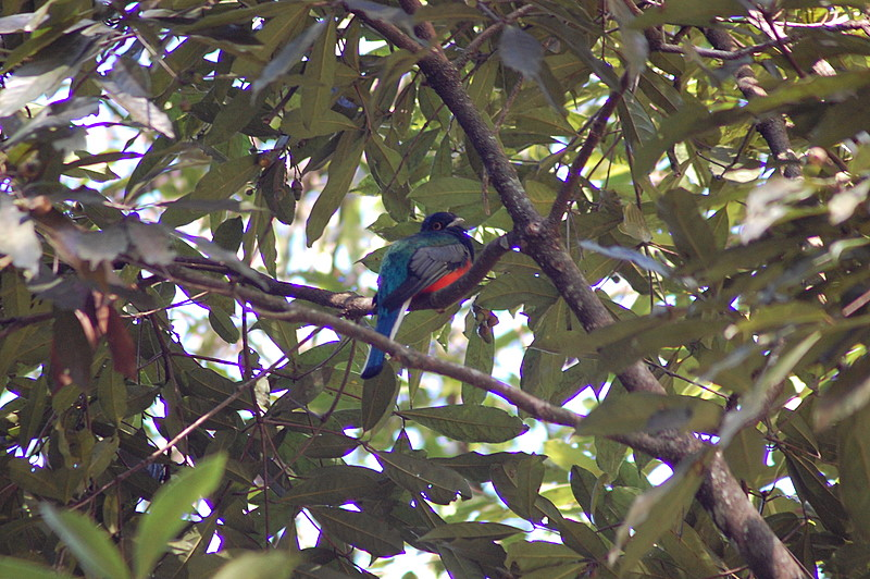 Blue-crowned Trogon (Trogon curucui) - Wiki; Image ONLY